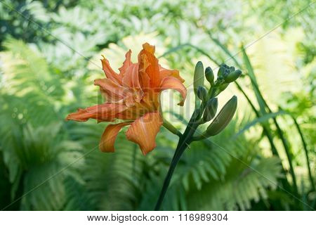 Beautiful Tiger Lilies In  Garden