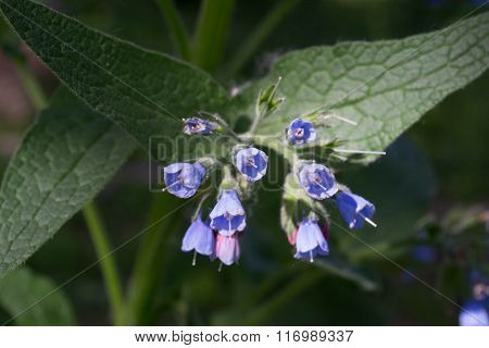 Blue Flower Spike With Bell-shaped Flowers