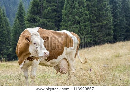 Brown And White Cow Grazing In Mountain