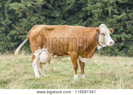 Cow Standing On A Pasture With Trees On The Background