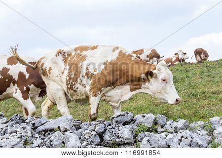 Stone Wall Surrounding An Alpine Pasture And Grazing Cows
