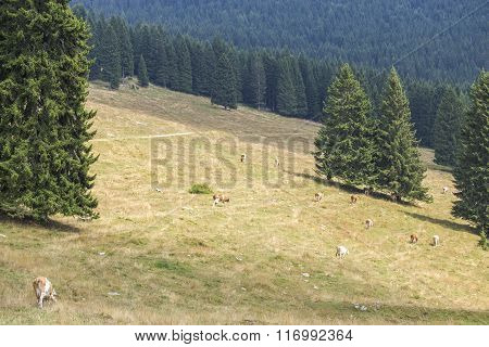 Herd Of Cows Grazing Between Pine Trees
