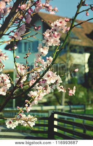 Almond tree twigs blooming in spring with