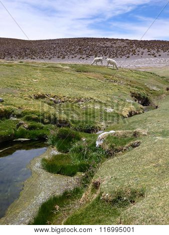 Llamas At The Grass Around A Small Stream In Altiplano