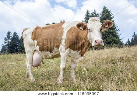 Brown And White Cow Grazing In Mountain Pasture