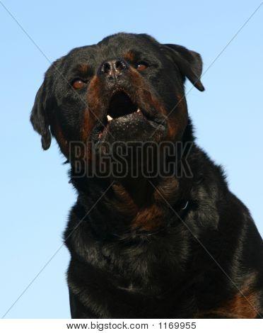 Rottweiler perigoso