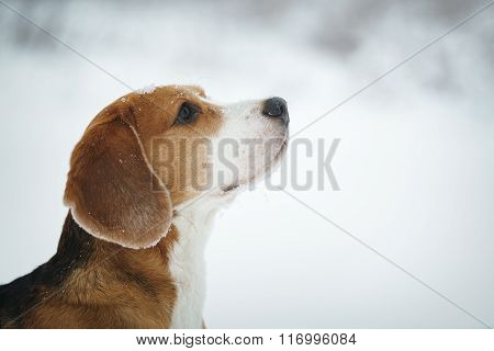 beagle dog outdoor portrait walking in snow