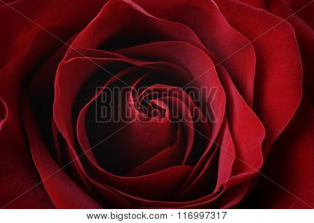 dark red rose close up shot