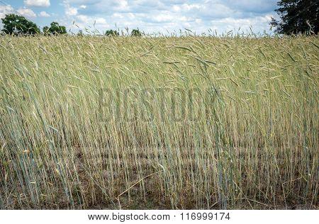 rye field on countryside in Mazovia region Poland