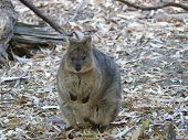 stock photo of quokka  - quokka are a native animal in australia