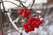 Постер, плакат: Red berry viburnum in the snow