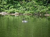 stock photo of loon  - A hungry loon looking for some food - JPG