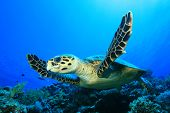 pic of hawksbill turtle  - Hawksbill Turtle (Eretmochelys imbricata) fins over a coral reef