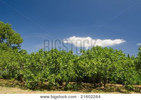 Fig Tree Forrest With Lovely Sky