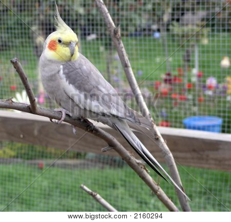 Cockatiel In An Aviary