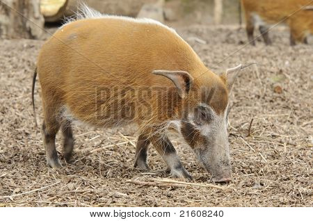 Red River Hog