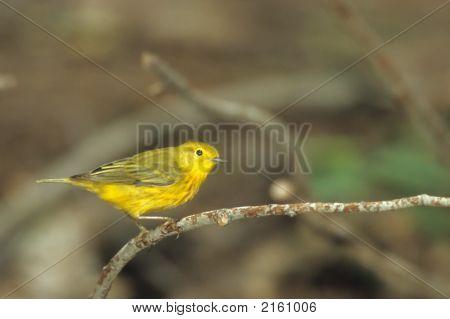 Yellow Warbler   017 J