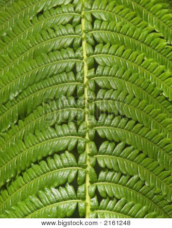 Hawaii Jungle Fern Closeup