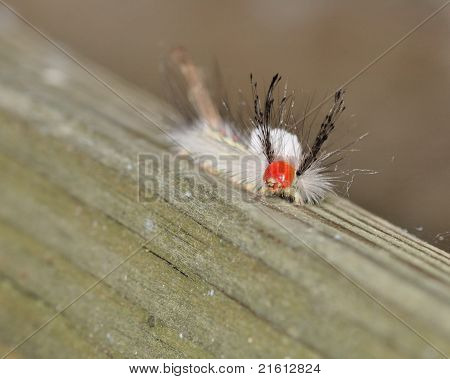 Branco-marcado Tussock mariposa lagarta