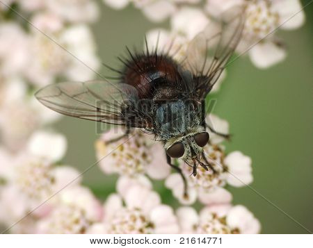 tachinid fly on yarrow flowers macro