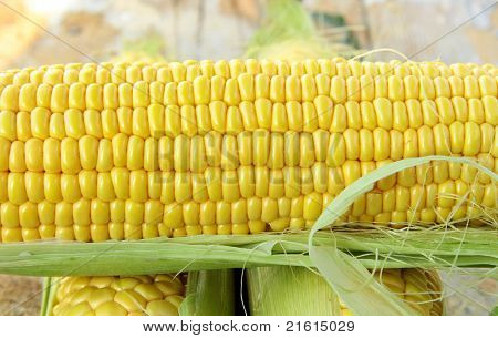 Closeup of yellow corn with additional ears of corn in the background