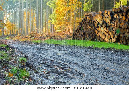 Softwood forest being harvested