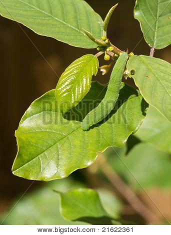 Brimstone Butterfly Caterpillar