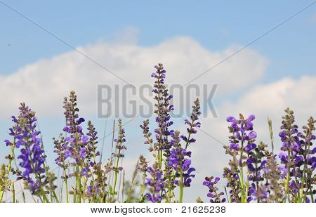 Meadow Sage (salvia Pratensis)