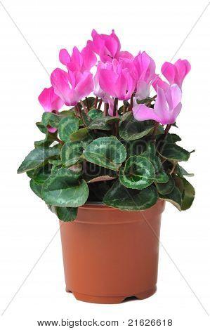 Blooming Cyclamen In Pot