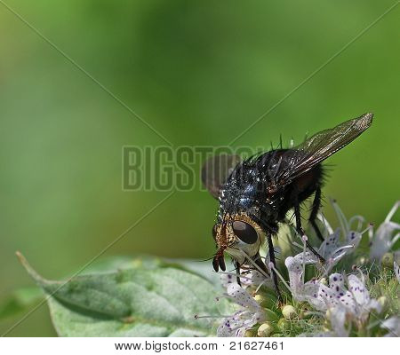 Repetitive Tachinid Fly