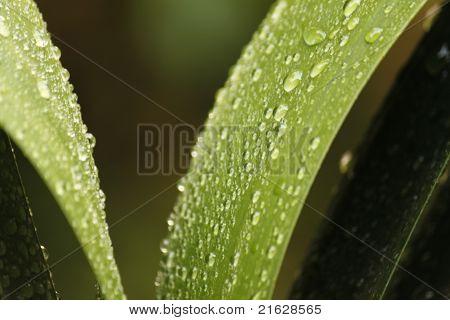 drops on lilium
