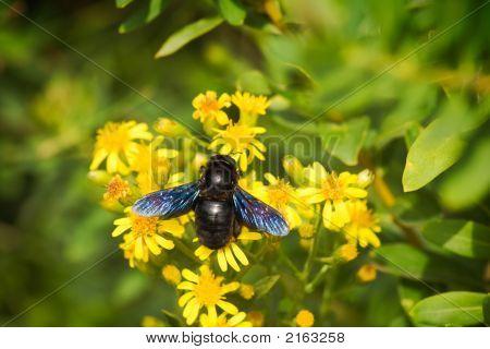 Europäischen Holzbiene