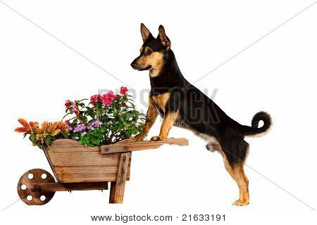 Dog With Wheelbarrow