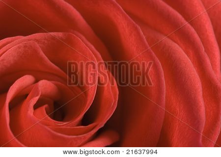 Red rose with open petals