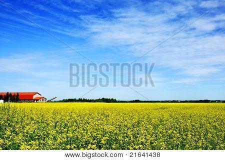Sky, Farm And Canola Or Rapeseed Field