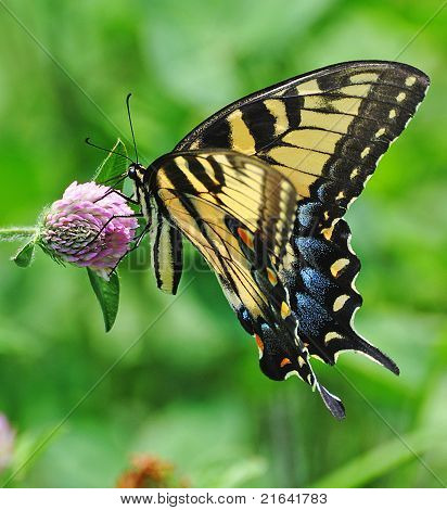 Tiger Swallowtail On Red Clover Bloom