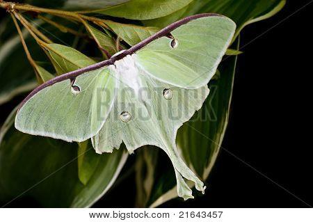 Moon Moth