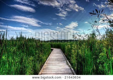 Wooden Boardwalk In Tall Reeds