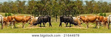 Australian Beef Cattle Cow Border