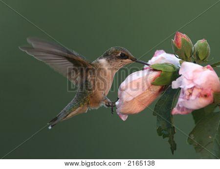 Hummingbird auf einer Blume