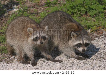Pair Of Baby Raccoons