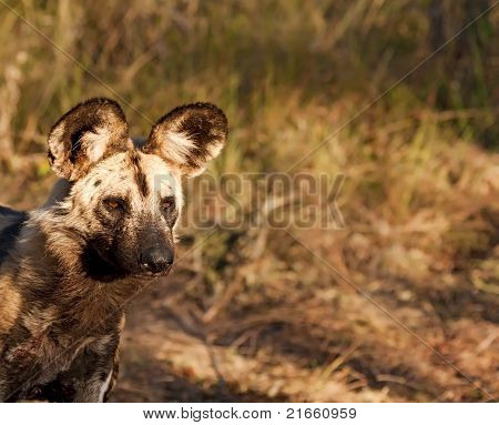 Wild dog closeup walking in grass