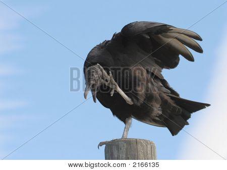 Black Vulture On A Pole