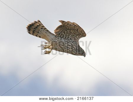 Diving Northern Goshawk