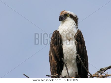 Osprey On A Nest In The Florida Everglades
