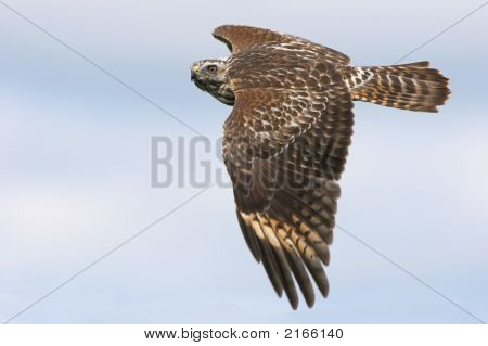 Red-Shouldered Hawk Soaring
