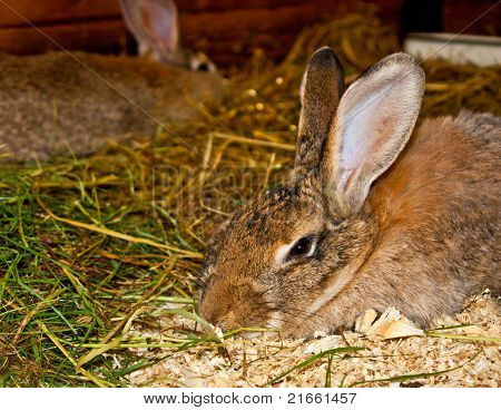 Two rabbits on the straw