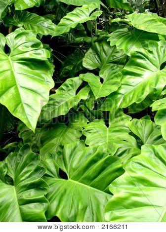 Leaves In Hana, Maui