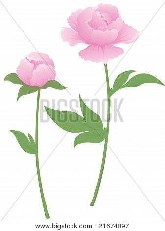 Peony Flower And Bud