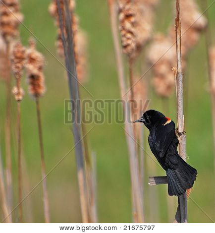 Red Wing Blackbird On Cattails